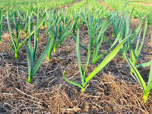 Garlic at the end of April