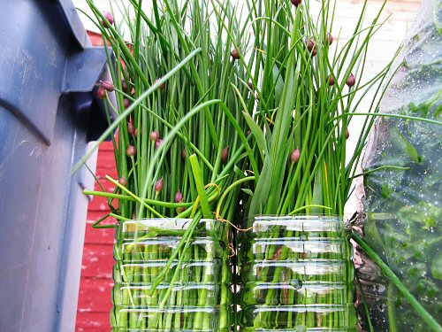 Chives, spinach, rhubarb in a bin