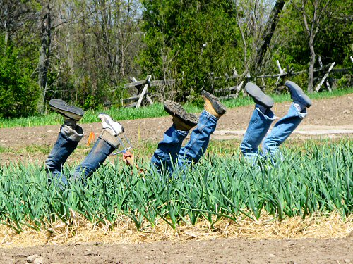 Kicking up heels in the garlic beds