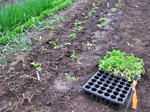 Transplanting parsley