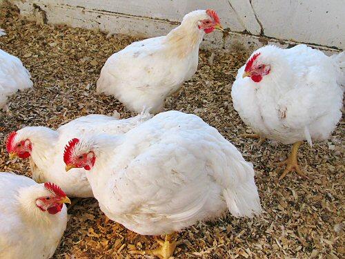 Chickens: Frey\'s vs White Rock