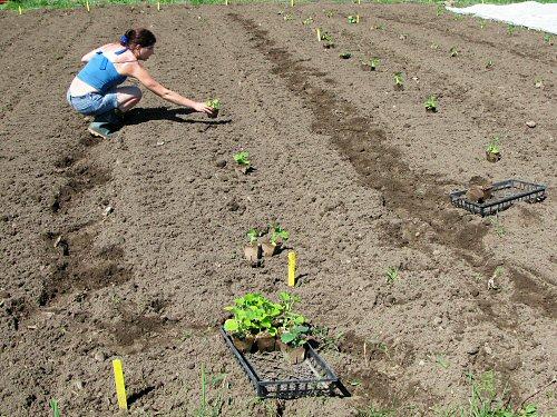 Transplanting winter squash