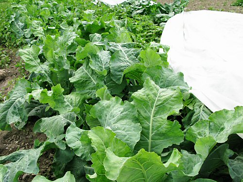Uncovering cauliflower