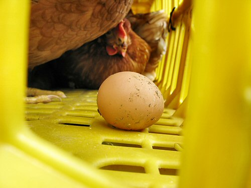 Egg laying in the shipping crate