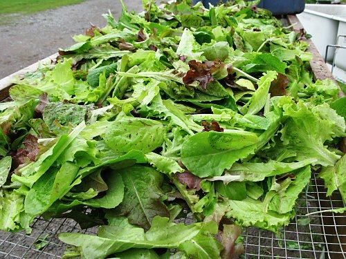 All-lettuce mesclun