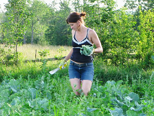 Harvesting broccoli from the weeds