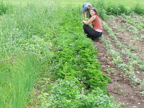 Weeding herbs