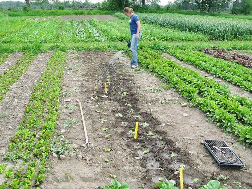 Watering in lettuce transplants