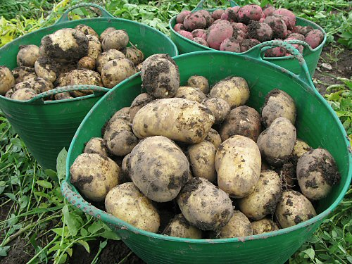 Freshly dug Chieftain and Yukon Gold potatoes