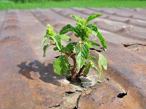 Pigweed rehabilitated?