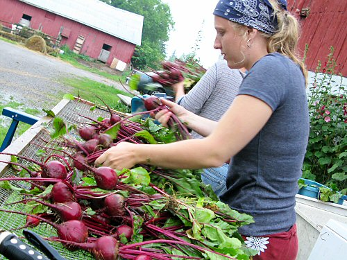 Rinsing and sorting beets