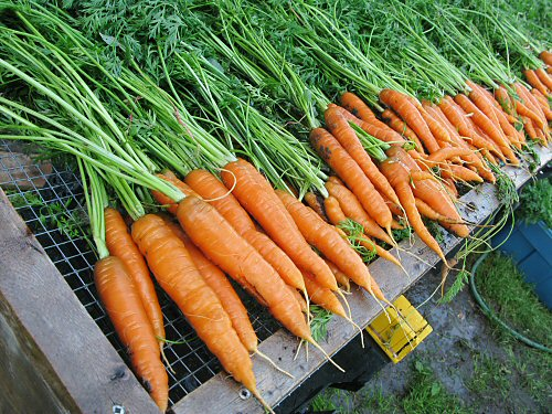 Rinsed carrots