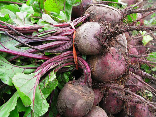 Field-bundled beets