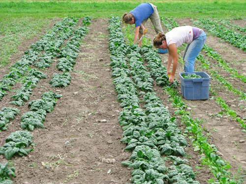 Harvesting spinach