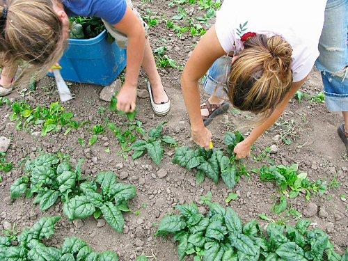 Libby and Lynn cutting spinach