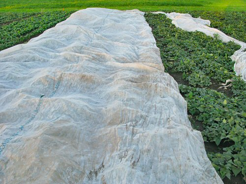 Floating row cover on sweet potatoes