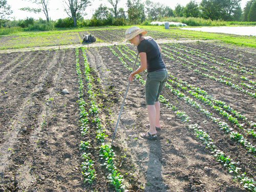 Weeding summer spinach