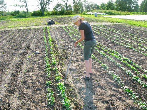 Weeding summer spinach