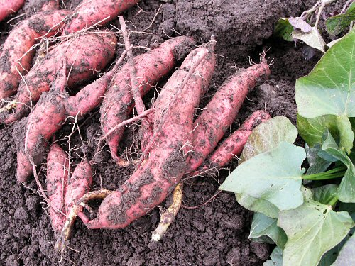 fal08_freshly-dug_sweet_potatoes