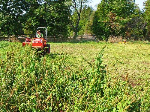 Mowing pigweed