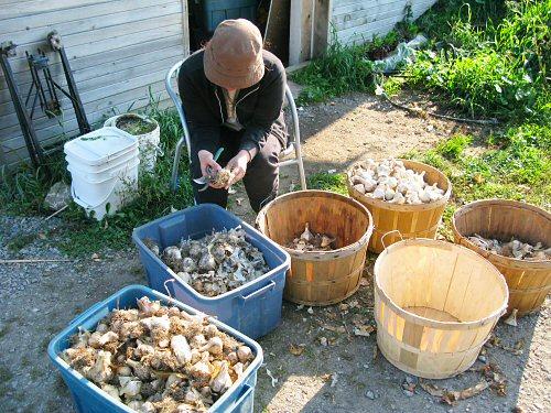 Toshiko trims garlic