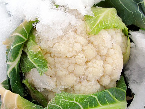 Cauliflower in snow