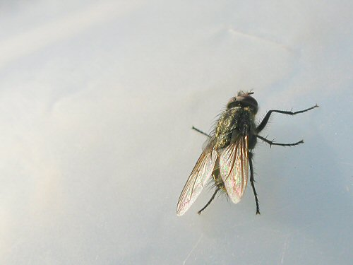 Fly on the greenhouse