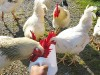Hand-feeding the roosters