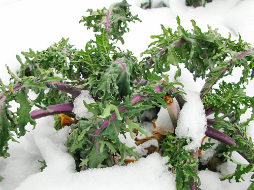 Flat-leaf kale in snow