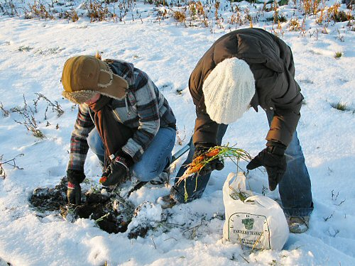 Snow carrot harvest