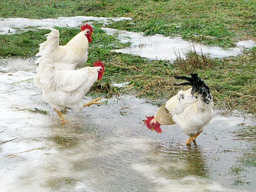 All-weather chickens