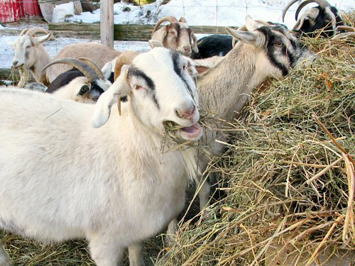 Goats and hay