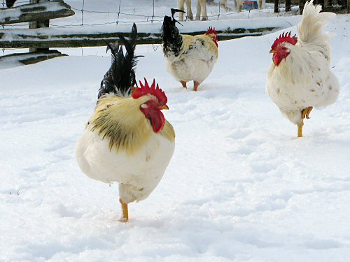 Chickens standing around