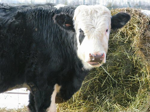Winter-born calf
