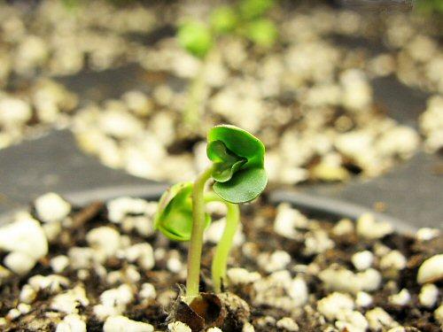 More seedlings appear