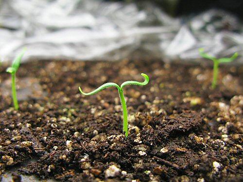Vittoria eggplant seedlings