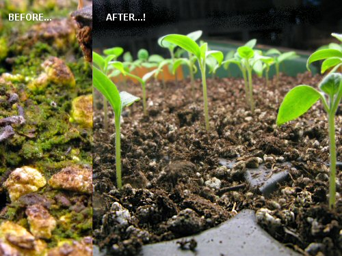 Green moss before and after