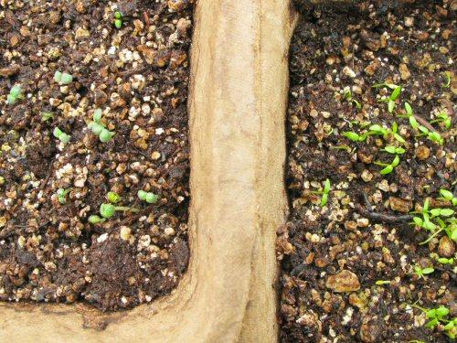 Rosemary and celery seedlings