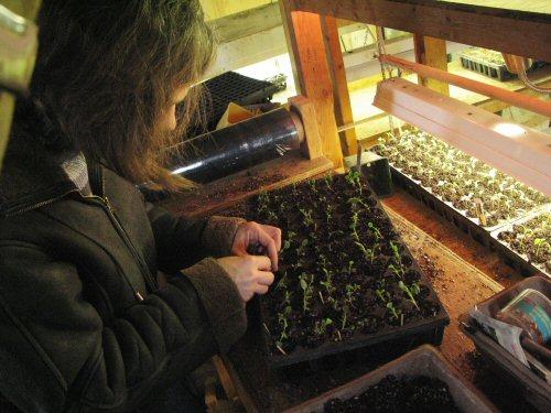 Managing cauliflower seedlings