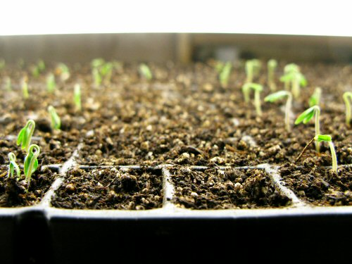 Tomatoes: waiting for germination