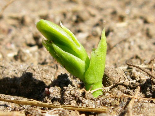 First peas appear