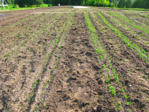 Veggie rows appearing