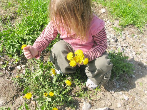 Picking dandelions