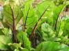 First beet greens