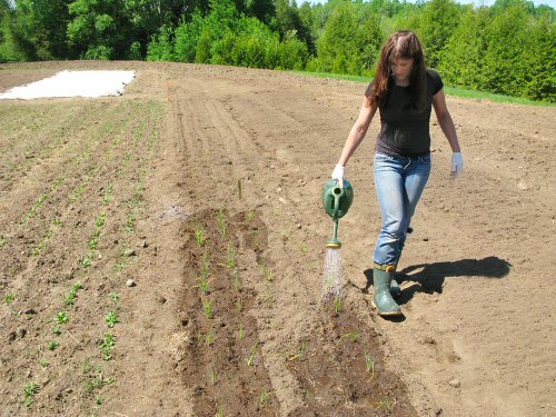 Hand-watering onions