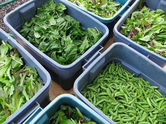 Early season harvest: peas and greens