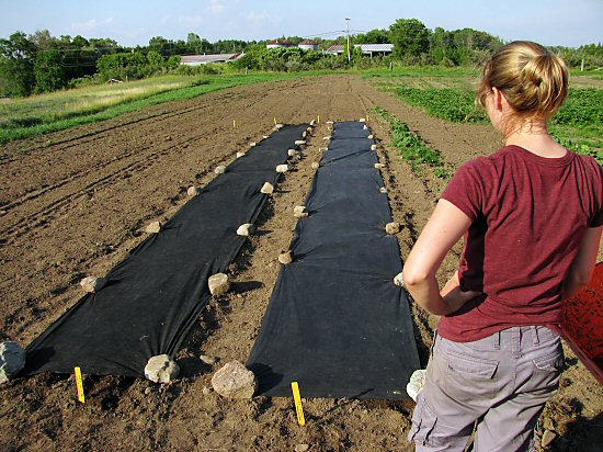Landscaping fabric over carrots