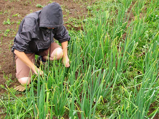 Weeding onions in the drizzle