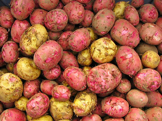 New potatoes: red Chieftan and Penta