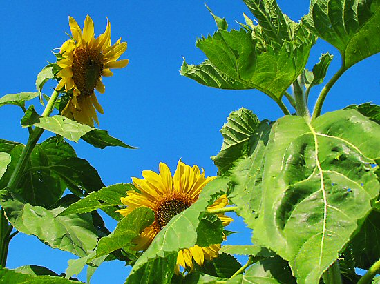 Early Russian sunflower